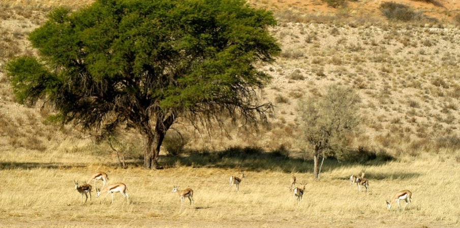 Thompson gazelles grazing